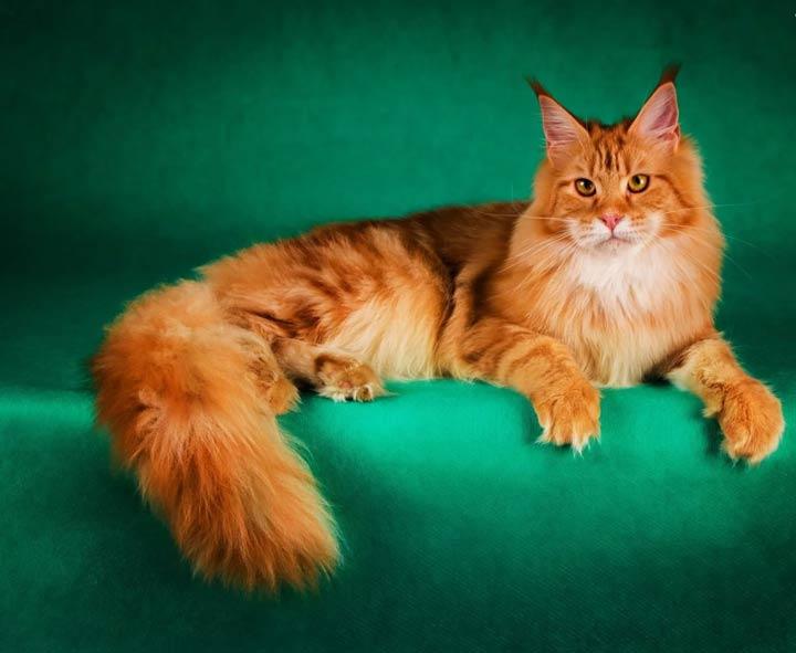 نژاد گربه، مین کوون - محبوب ترین نژاد گربه