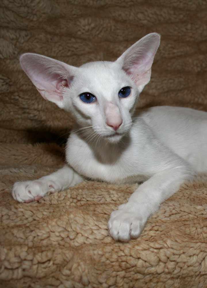 نژاد گربه، شرقی - محبوب ترین نژاد گربه