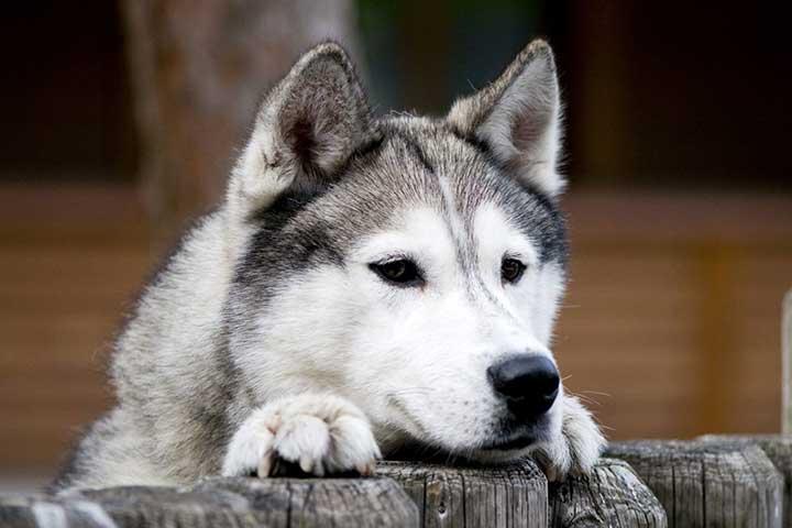 نگهداری از سگ هاسکی مقرونبهصرفه است
