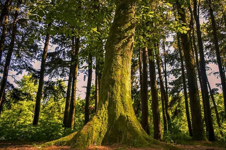 درختان تنومند جنگل کنار ساحل گیسوم - عکس از رضا عربی