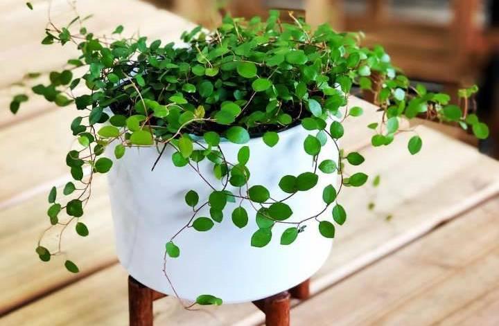گیاهان آپارتمانی سازگار با نور کم - Angel Vine یا Muehlenbeckia