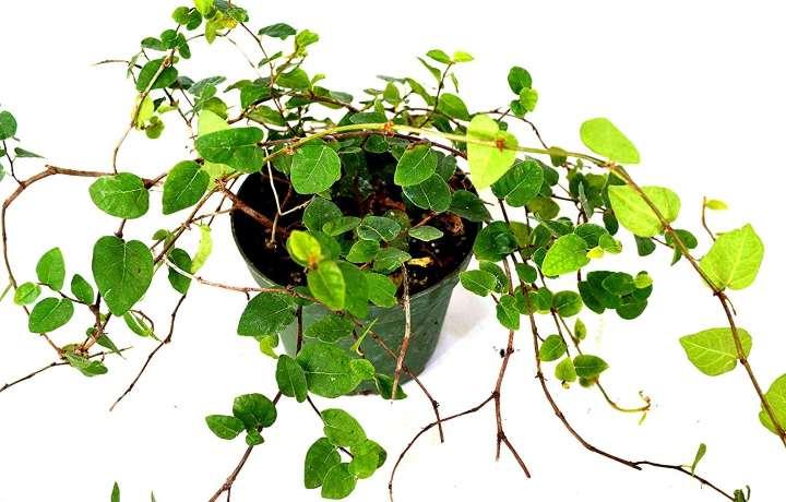 گیاهان آپارتمانی سازگار با نور کم - فیکوس خزنده