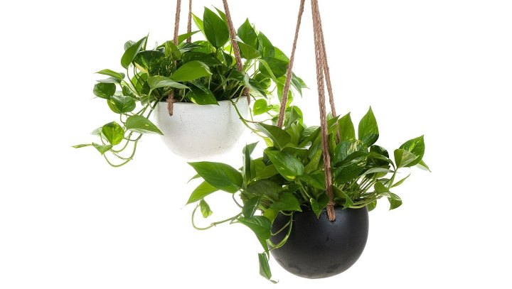 گیاهان آپارتمانی سازگار با نور کم - پوتوس