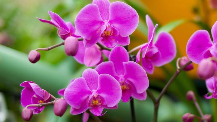 گیاهان آپارتمانی سازگار با نور کم - ارکیده شاپرکی یا ارکیده پروانه ای