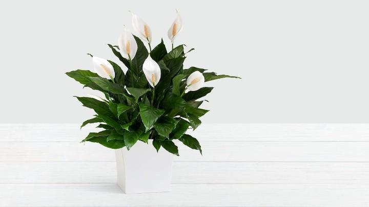 گیاهان آپارتمانی سازگار با نور کم - گل اسپاتی فیلوم