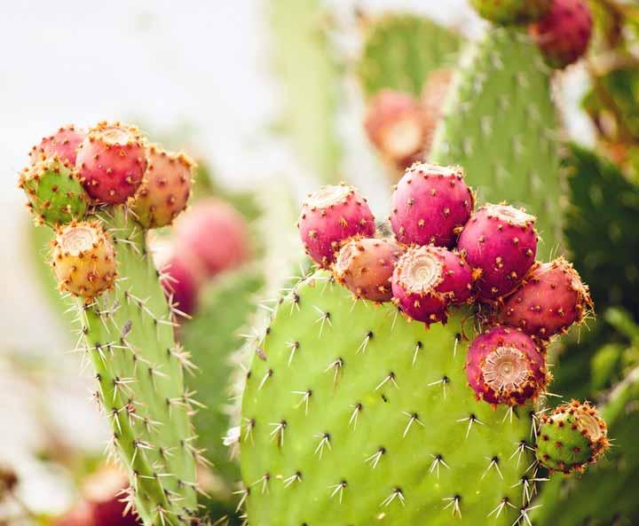 میوه کاکتوس از گیاه نوپال