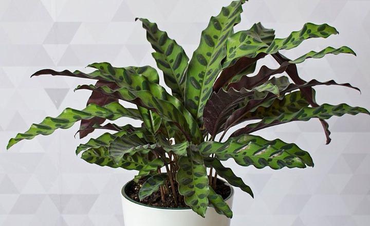 گیاهان آپارتمانی سازگار با نور کم - کالاتهآ یا مار زنگی