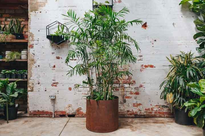 نخل بامبو یکی از گیاهان تصفیه کننده هوا