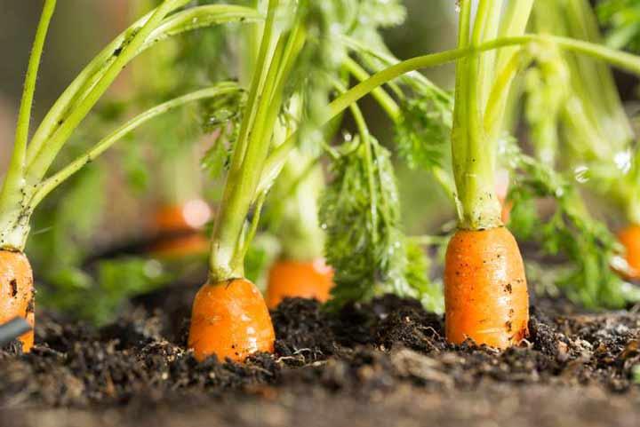 هویج برای کاشت سبزی در گلدان