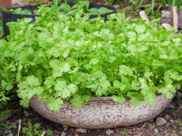 گشنیز برای کاشت سبزی در گلدان