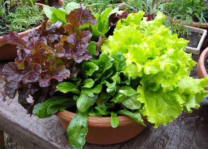 سبزیجات سالاد برای کاشت سبزی در گلدان