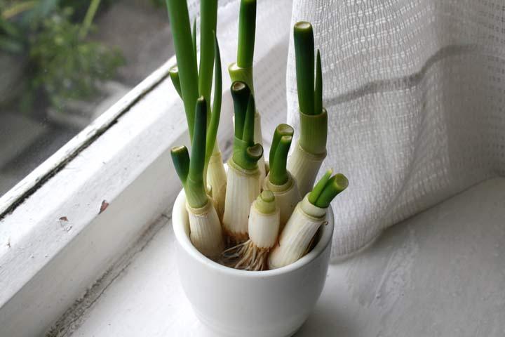 پیازچه برای کاشت سبزی در گلدان