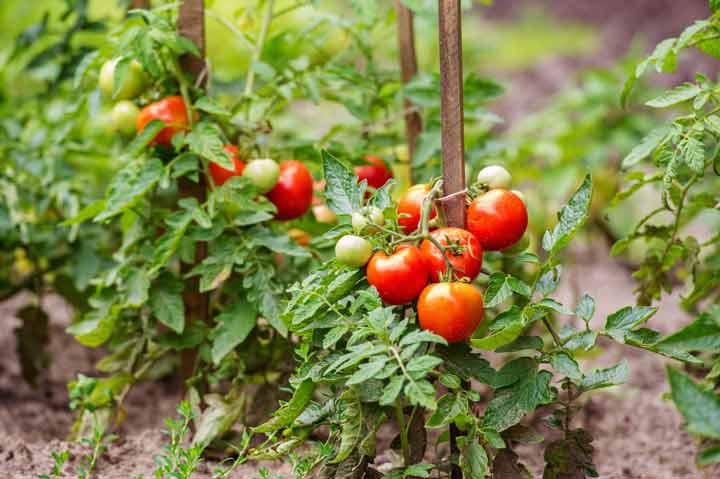 گوجهفرنگی برای کاشت سبزی در گلدان