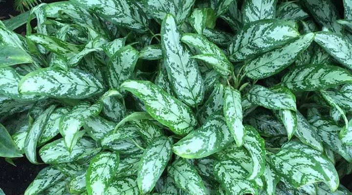 آگلونما یکی از گیاهان تصفیه کننده هوا