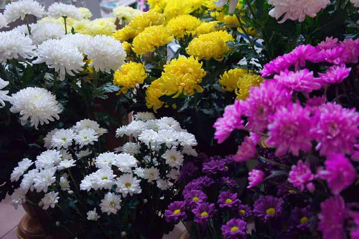 گل داوودی یکی از گیاهان تصفیه کننده هوا