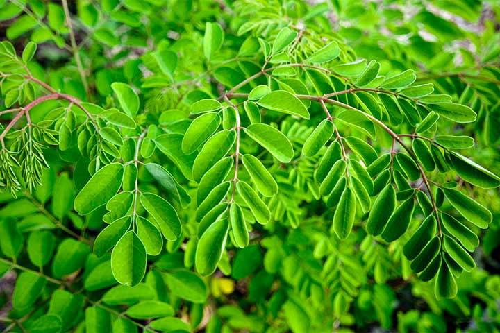 برگهای درخت مورینگا اولیفیرا