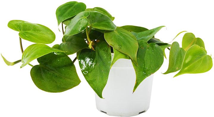 فیلودندرون از گیاهان تصفیه کننده هوا