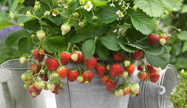 کاشت توت فرنگی در خانه؛ چطور در باغچه و گلدان توت فرنگی پرورش دهیم؟