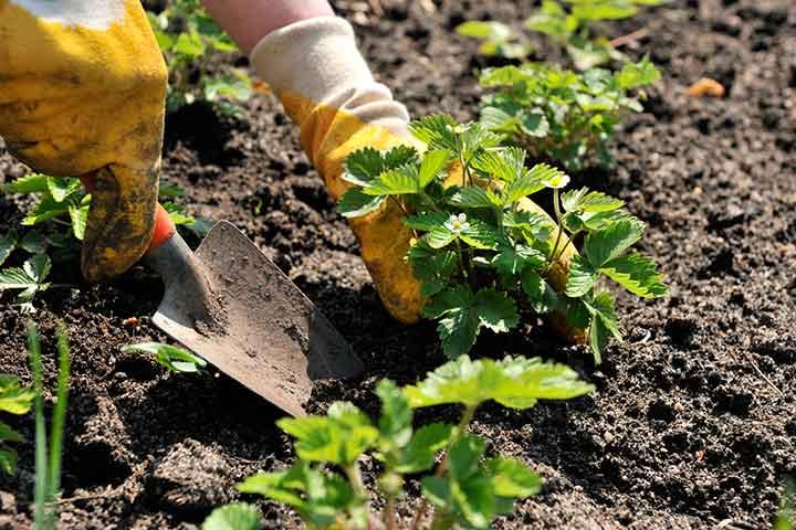 کاشت توت فرنگی در خانه و باغچه