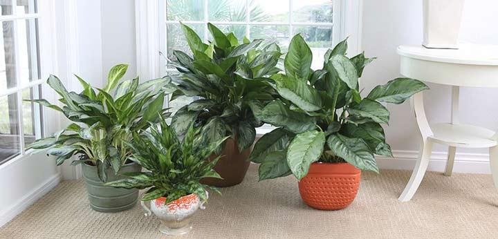 آگلونما یکی از بهترین گیاهان برای محل کار