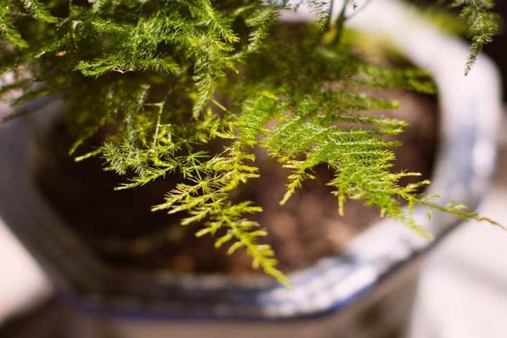 گیاه شویدی یکی از بهترین گیاهان برای محل کار