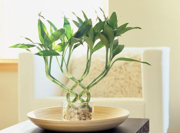 بامبو خوششانس یکی از بهترین گیاهان برای محل کار