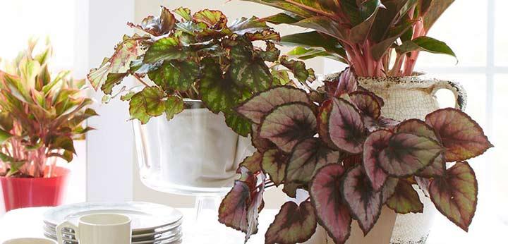 بگونیا یکی از بهترین گیاهان برای محل کار