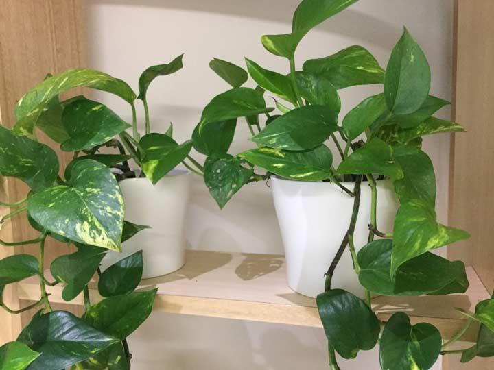 پوتوس یکی از بهترین گیاهان برای محل کار