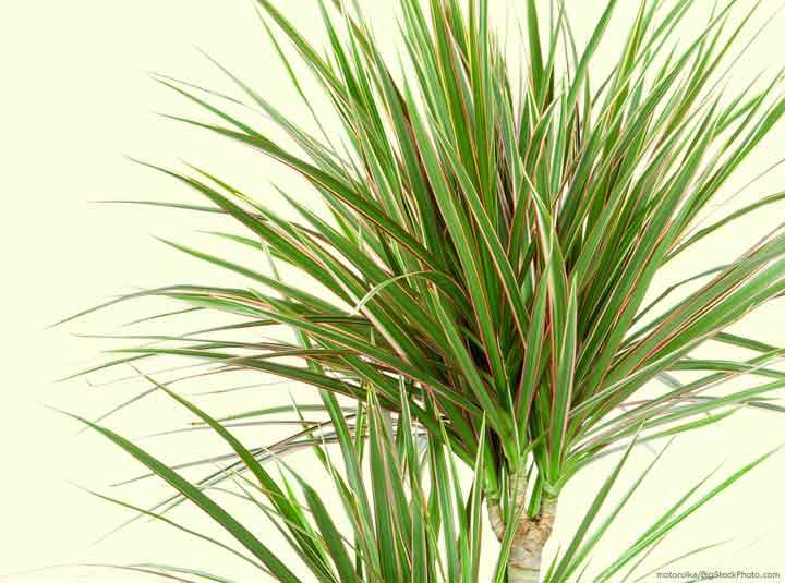 دراسنا یکی از بهترین گیاهان برای محل کار