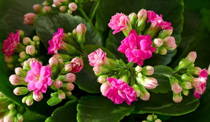 کالانکوئه یکی از بهترین گیاهان برای محل کار