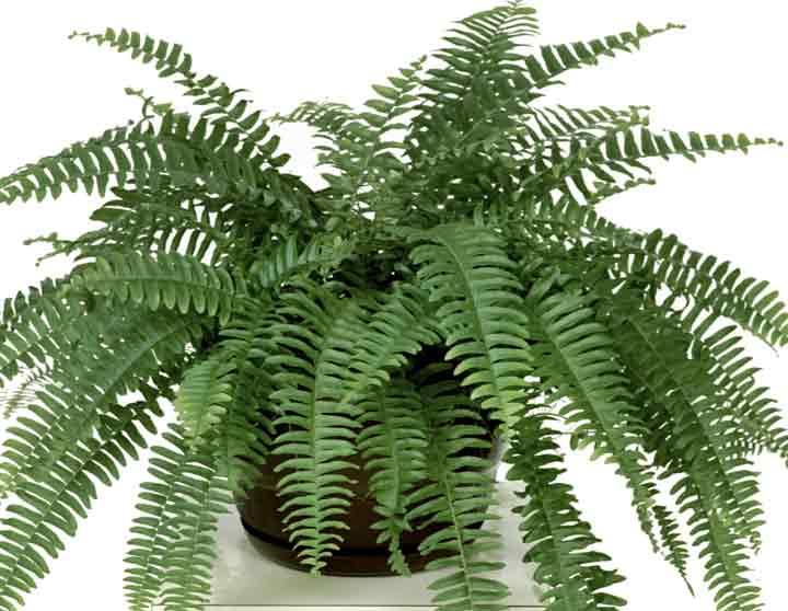 سرخس یکی از بهترین گیاهان برای محل کار