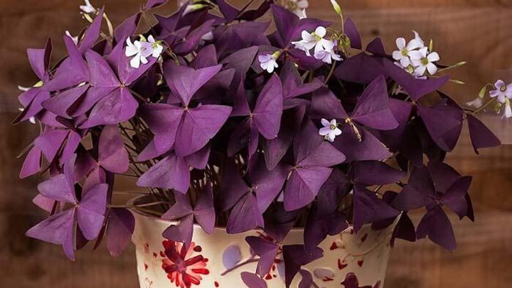 اگزالیس یکی از بهترین گیاهان برای محل کار