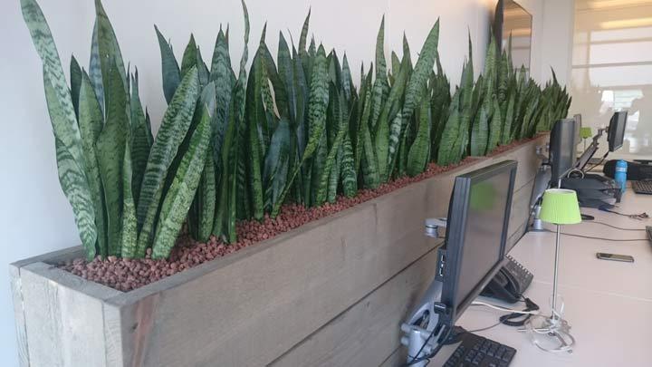سانسوریا یکی از بهترین گیاهان برای محل کار
