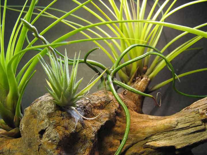 تیلاندیسا یکی از بهترین گیاهان برای محل کار