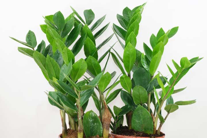زامیفولیا یکی از بهترین گیاهان برای محل کار