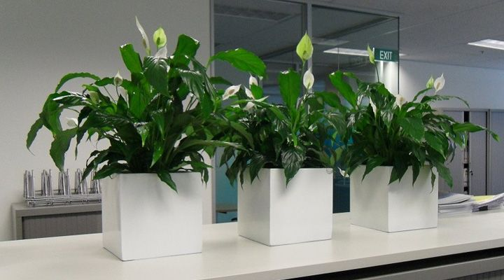 اسپاتی فیلوم یکی از بهترین گیاهان برای محل کار