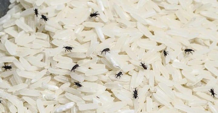 از بین بردن شپشک برنج با استفاده از آب جوش