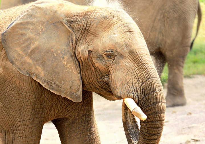 فیل-خطرناک ترین حیوانات دنیا