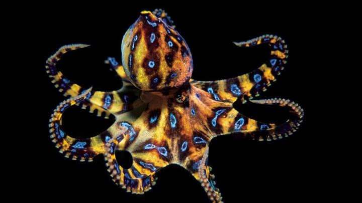 اختاپوس حلقهآبی-خطرناک ترین حیوانات دنیا