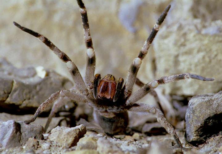 عنکبوت سرگردان برزیلی-خطرناک ترین حیوانات دنیا