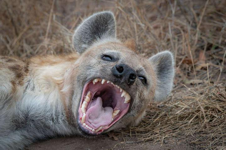 کفتار-خطرناک ترین حیوانات دنیا