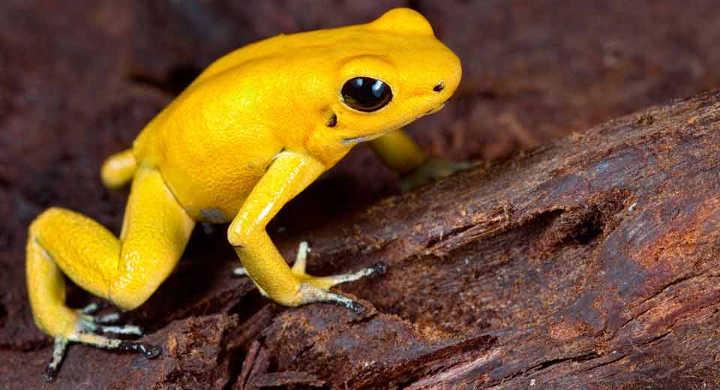 قورباغهٔ پیکانطلایی-خطرناک ترین حیوانات دنیا