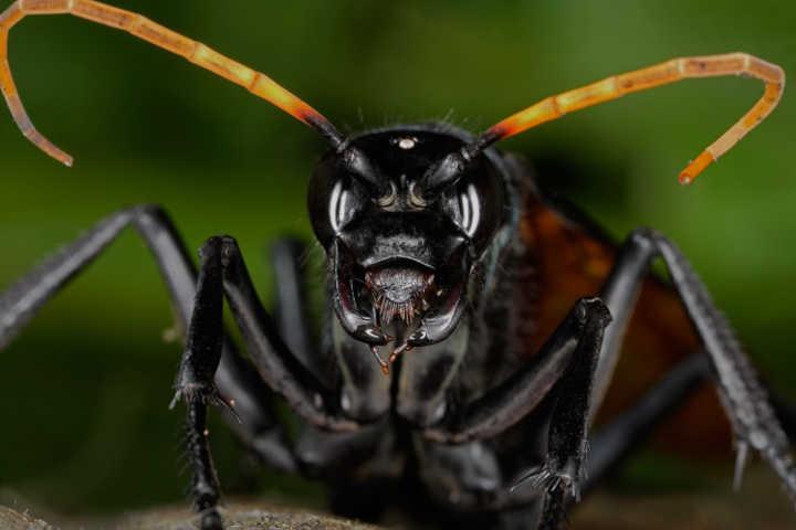 مورچهٔ فشنگی-خطرناک ترین حیوانات دنیا