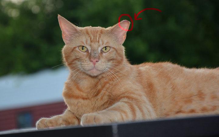 گربهای که طرح TNR روی آن انجام شده است