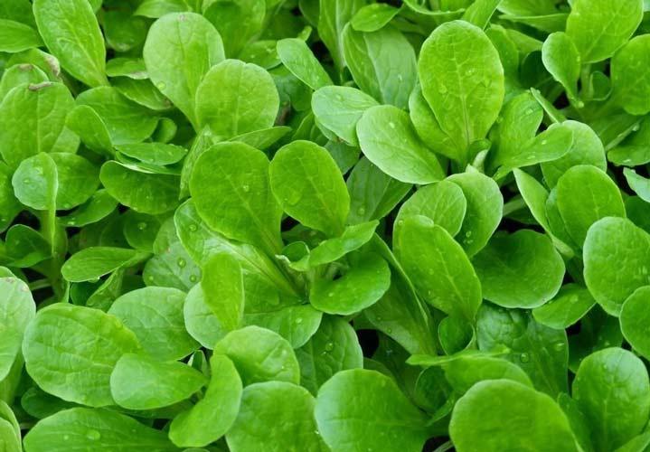آخر تابستان چه سبزیجاتی بکاریم؟ - یکی از سبزیجات مناسب برای کاشتن در این فصل ماچه است.