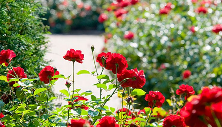 نگهداری از گل رز در باغچه و گلدان؛ از هرس کردن تا کوددهی