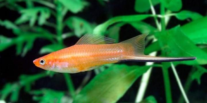 پرطرفدارترین ماهی های آکواریومی ماهی دم شمشیری