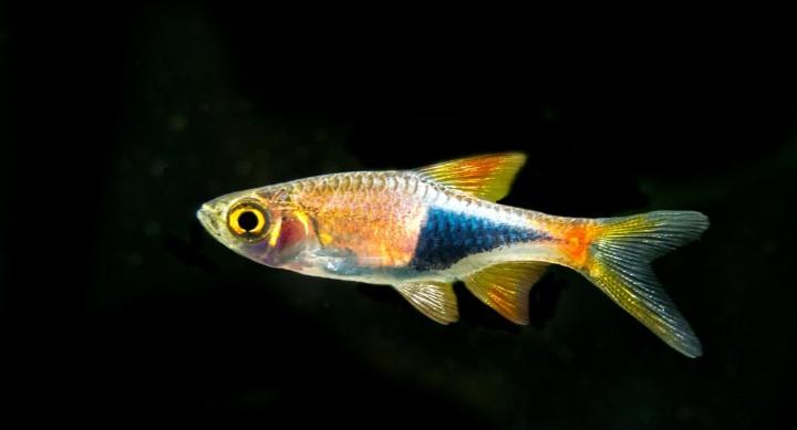 پرطرفدارترین ماهی های آکواریومی - رازبورای دلقک