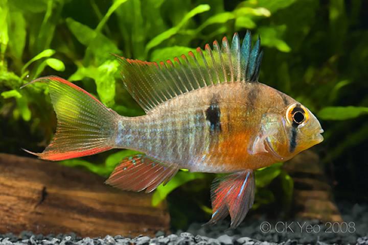 پرطرفدارترین ماهی های آکواریومی - رامیزی بولیویایی