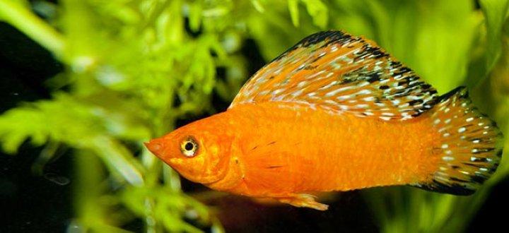 پرطرفدارترین ماهی های آکواریومی - مولی باله بادبانی